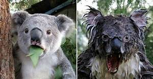 Mad Koala Bear | www.pixshark.com - Images Galleries With ...
