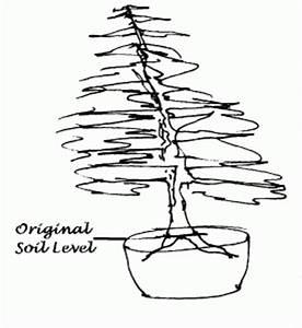 case study yew taxus bacata With wiring yew bonsai