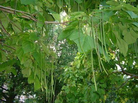Grundwissen über den Trompetenbaum