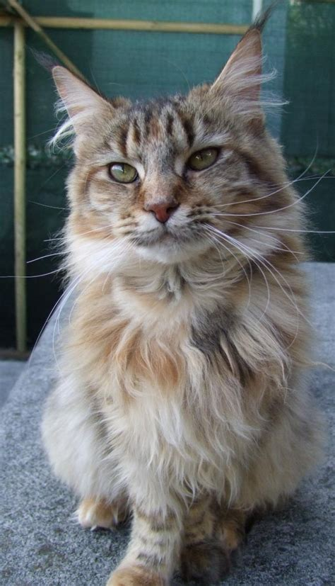 do maine coons shed in the summer 1000 images about maine coons on