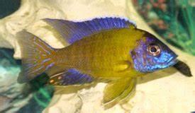 Dainichi Cichlid Ultima Krill Floating Small Pellet 250g