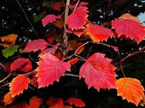 Rote Blätter Baum : rote baum bl tter auf schwarzem hintergrund stockfoto ~ Michelbontemps.com Haus und Dekorationen
