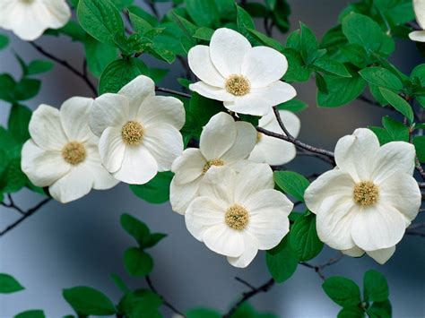 dogwood flowers pictures hd desktop wallpapers  hd
