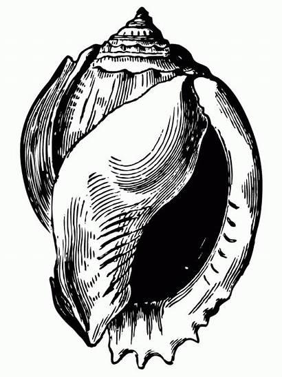 Shell Seashell Drawing Illustration Illustrations Drawings Antique