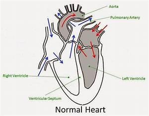 Simple Human Heart Diagram