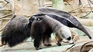 Giant (baby) anteater! | abc7chicago.com
