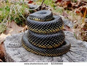 Speckled Kingsnake, Lampropeltis Getula Holbrooki Stock ...