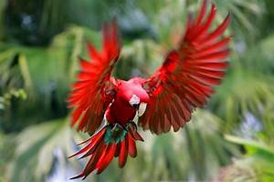 red parrot, bird flying, wings | Fluff and feathers ...
