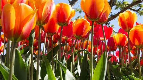wallpaper tulips  flowers