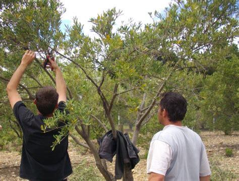 taille d un olivier en pot taille de l olivier