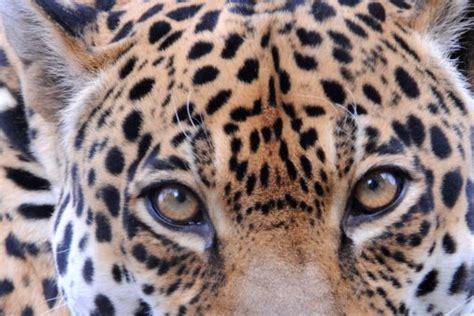 Black Leopard Facts for Kids
