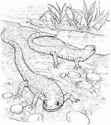 Coloring Lizard Realistic Lizards Salamander Coloringbay sketch template