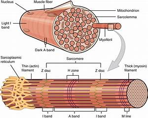 10 2 Skeletal Muscle  U2013 Anatomy And Physiology