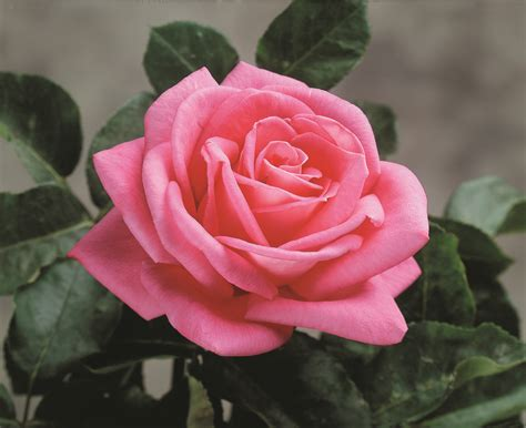 Stop And Smell The … Our List Of The Most Fragrant Roses