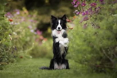 Collie Border Dog Flower Dogs Wallpapers Animals