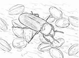 Coloring Beetle sketch template