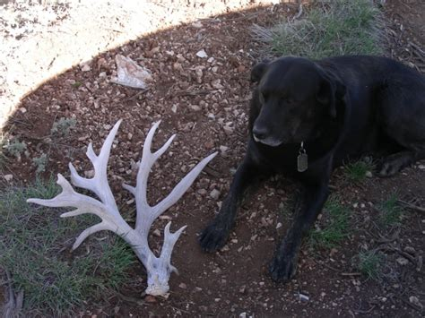 Moose Shed Antler Forums by Shed Antler Contest Winners Monstermuleys
