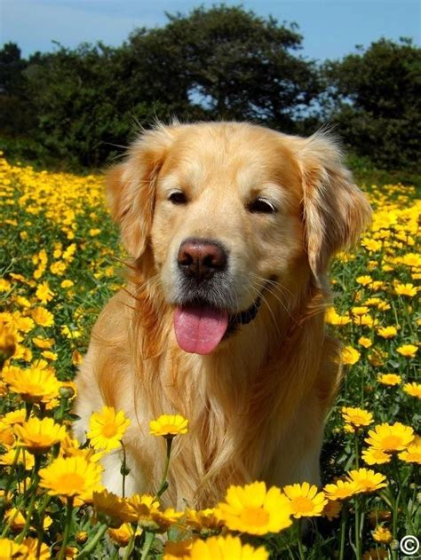 Golden Retriever Wallpaper Aesthetic Lock Screen Puppies by Pin On Aesthetic