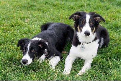Collie Border Puppy Wallpapers Grass Lying Dogs