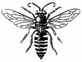 Bee Coloring Honey Male Bees Drawing Sheet Coloringsky Realistic Tattoo sketch template