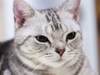 American Cat Shorthair Funny Wallpapers Tabby Cats