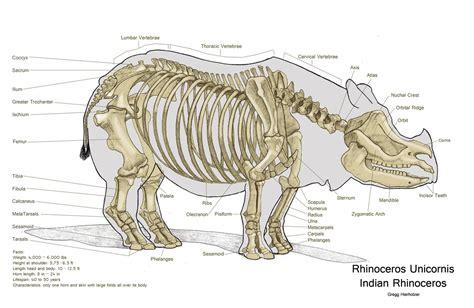 rhino skeleton  large  clear picture animal