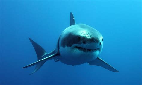 Shark Image Tourism With Bite Swimming With The Great White Shark
