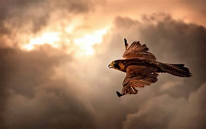 4k Hawk Sky Flying Wallpapers Birds