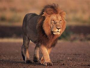 Lion-Endangered animals list-Our endangered animals ...