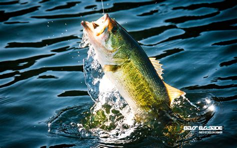 Fish Background Bass Fishing Wallpaper Backgrounds Wallpaper Cave