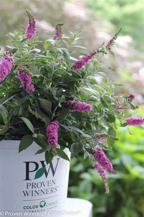 can i grow buddleia in a pot lo behold 174 pink micro chip butterfly bush buddleia x proven winners