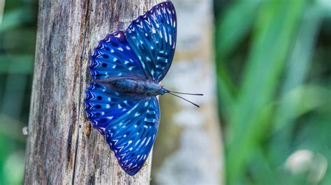 Wallpaper.wiki-blue-butterfly-animal-wallpaper-hd-pic