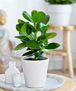 Anthurie Im Wasser : intenz home clusia 39 princess 39 plants miami zone 10b ~ Yasmunasinghe.com Haus und Dekorationen