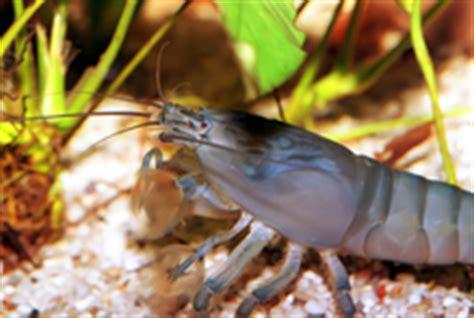 crevettes aquarium leur int 233 r 234 t ooreka