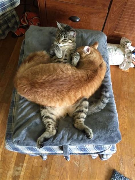 ginger cats sleeping  cats belly luvbat