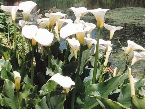 z aethiopica zantesdeschia aethiopica calla plante de berge