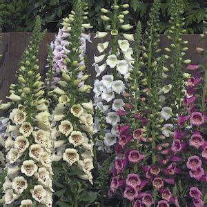 72101 Swallowtail Seeds Coupon by 83 Best Foxglove Images On Garden Seeds Pink