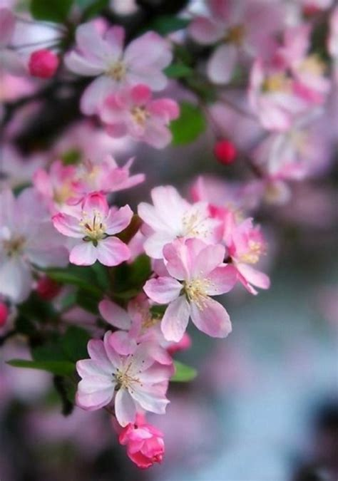 61 best images about cherry 104 best images about ciliegi in fiore on