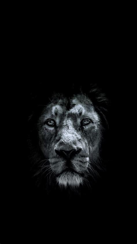 black lion hd wallpaper  images