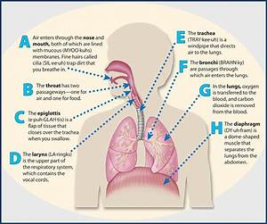 How Is The Human Respiratory System Works - Science