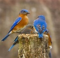 bluebirds | Bluebirds | Pinterest