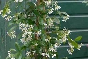 Jasmin Pflanze Winterhart : jasmin pflanze zarte bl tenpracht bet render duft und heilende eigenschaften in einem ~ Frokenaadalensverden.com Haus und Dekorationen
