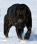 about time cane corso italiano about us