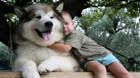 Adorable Alaskan Malamute Playing With Kids Dog Loves