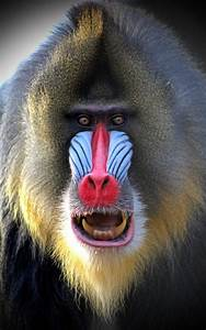 Mandrill Baboon Face   www.imgkid.com - The Image Kid Has It!