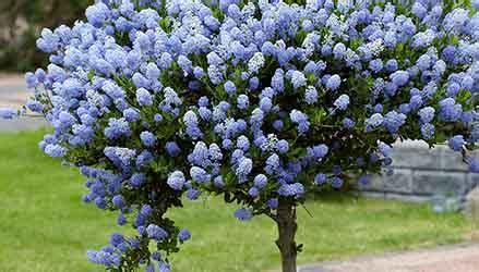 alberi da giardino piccolo albero sempreverde per piccolo giardino alberi