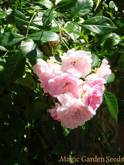 Gartenrose 'angel Wings' (rosa Chinensis)  Samen & Saatgut