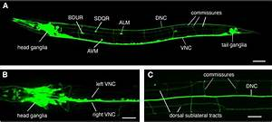 The Genetics Of Axon Guidance And Axon Regeneration In