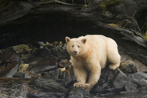 spirit bear    great bear rainforest canada