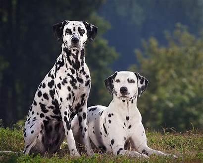 Dalmatian Dog Breed Dogs Friendly Info Read